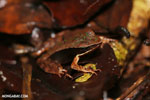 Rana warszewitschii frog [costa_rica_siquirres_0084]