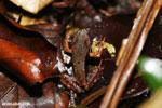 Warszewitsch's frog (Rana warszewitschii) [costa_rica_siquirres_0085]