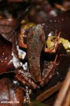 Rana warszewitschii frog [costa_rica_siquirres_0086]