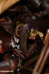 Warszewitsch's frog (Rana warszewitschii) [costa_rica_siquirres_0087]
