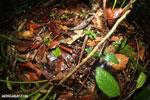 Rana warszewitschii frog [costa_rica_siquirres_0088]
