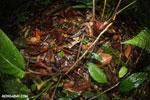 Warszewitsch's frog (Rana warszewitschii) [costa_rica_siquirres_0089]