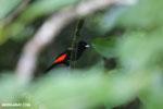 Cherrie's Tanager (Ramphocelus costaricensis) [costa_rica_siquirres_0128]