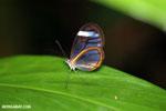 Glasswinged butterfly (Greta oto) [costa_rica_siquirres_0138]