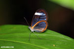 Glasswinged butterfly (Greta oto)