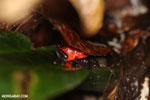 Strawberry poison-dart frog (Oophaga pumilio) [costa_rica_siquirres_0145]