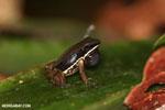 Rainforest rocket frog (Colostethus flotator)