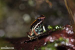 Lovely poison arrow frog (Phyllobates lugubris)