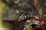 Lovely poison arrow frog