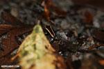 Lovely poison dart frog