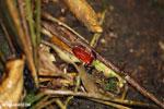 Strawberry poison-dart frog (Oophaga pumilio) [costa_rica_siquirres_0170]