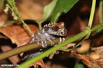 Spiny-headed tree frog (Anotheca spinosa) [costa_rica_siquirres_0181]