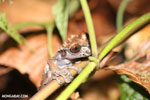 Crowned tree frog (Anotheca spinosa) [costa_rica_siquirres_0191]