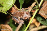 Spiny-headed tree frog (Anotheca spinosa) [costa_rica_siquirres_0196]
