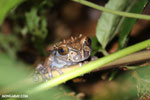 Spiny-headed tree frog (Anotheca spinosa) [costa_rica_siquirres_0201]