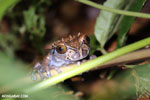Crowned tree frog (Anotheca spinosa) [costa_rica_siquirres_0202]