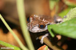 Spiny-headed tree frog (Anotheca spinosa) [costa_rica_siquirres_0206]