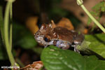 Crowned tree frog (Anotheca spinosa) [costa_rica_siquirres_0207]
