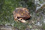 Rhaebo haematiticus frog [costa_rica_siquirres_0210]