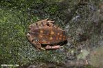 Rhaebo haematiticus frog [costa_rica_siquirres_0213]