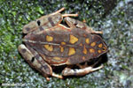 Rhaebo haematiticus frog [costa_rica_siquirres_0215]