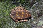 Rhaebo haematiticus frog [costa_rica_siquirres_0216]