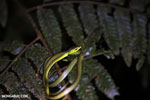 Snake [costa_rica_siquirres_0295]