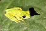 Lemur tree frog (Hylomantis lemur) [costa_rica_siquirres_0361]