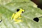 Lemur tree frog (Agalychnis lemur) [costa_rica_siquirres_0364]