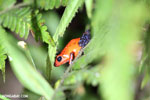 Strawberry dart frog [costa_rica_siquirres_0401]