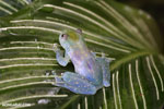 Glass frog [costa_rica_siquirres_0452]