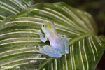 Glass frog [costa_rica_siquirres_0453]