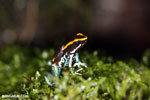 Golfodulcean poison frog (Phyllobates vittatus) [costa_rica_siquirres_0473]