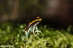 Golfodulcean poison frog (Phyllobates vittatus) [costa_rica_siquirres_0476]