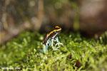 Golfodulcean poison frog (Phyllobates vittatus) [costa_rica_siquirres_0478]