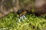 Golfodulcean poison frog (Phyllobates vittatus) [costa_rica_siquirres_0479]