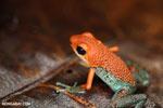 Red Granular Poison Frog (Oophaga granulifera)