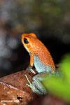 Red Granular Poison Arrow Frog (Oophaga granulifera)