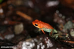 Red Granular Poison Frog