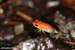 Granular Poison Frog - red form