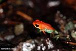 Granular Poison Dart Frog [costa_rica_siquirres_0496]