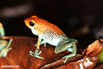 Granular Poison Dart Frog - red form [costa_rica_siquirres_0498]