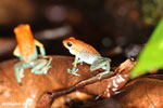 Granular Poison Arrow Frog (Oophaga granulifera) [costa_rica_siquirres_0499]