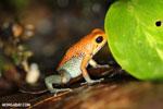 Granular Poison Arrow Frog (Oophaga granulifera) - red form [costa_rica_siquirres_0501]