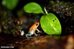 Red Granular Poison Dart Frog