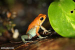 Granular Poison Dart Frog - red form
