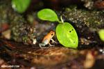 Granular Poison Arrow Frog (Oophaga granulifera) [costa_rica_siquirres_0505]