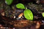 Red Granular Poison Arrow Frog (Oophaga granulifera) [costa_rica_siquirres_0506]