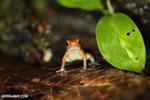 Granular Poison Frog (Oophaga granulifera) [costa_rica_siquirres_0507]