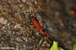 Strawberry dart frog [costa_rica_siquirres_0509]